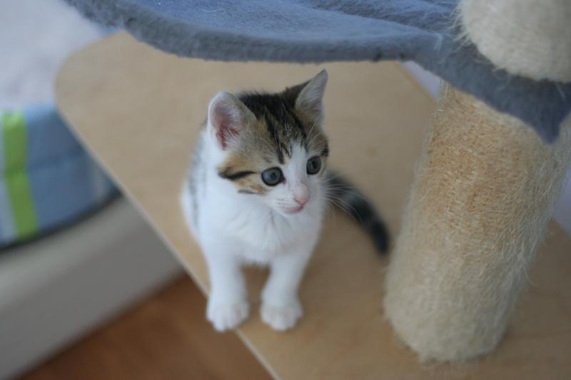 nenette - NENETTE, chatonne type européen, tigrée et blanche née le 15/04/17 Img_8123