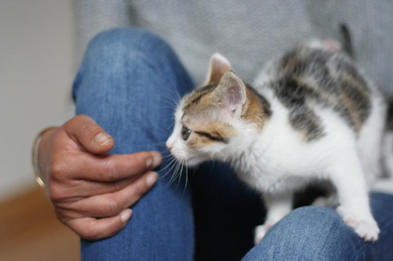 nenette - NENETTE, chatonne type européen, tigrée et blanche née le 15/04/17 Img_8124