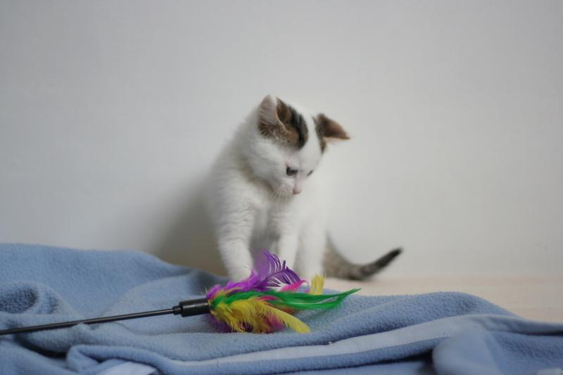 nana - NANA, chatonne, type européen,  blanche et tigrée née le 15/04/17 Img_8222