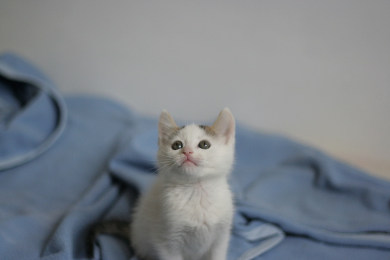 nana - NANA, chatonne, type européen,  blanche et tigrée née le 15/04/17 Img_8223