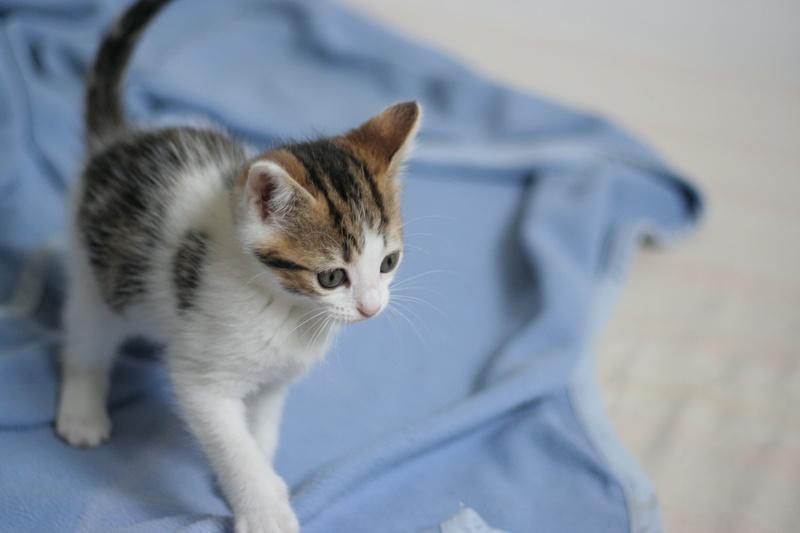 nenette - NENETTE, chatonne type européen, tigrée et blanche née le 15/04/17 Img_8225