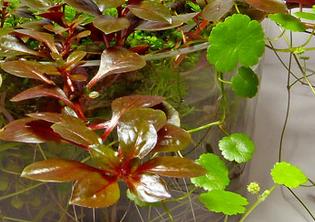 Mur végétal avec aquarium de 320L ---> Paludarium - Page 5 Plante10