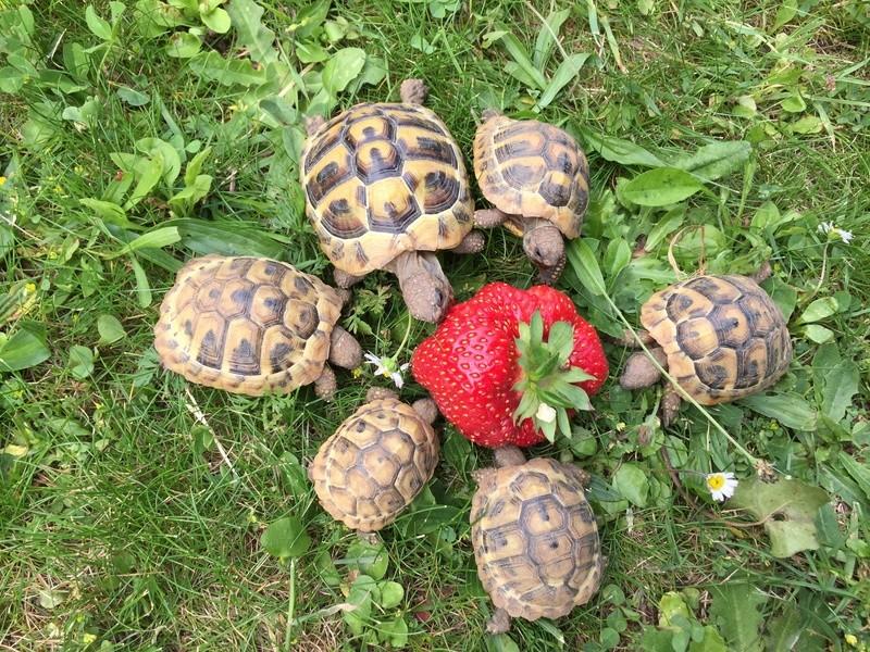 Saison des fraises Img_7410