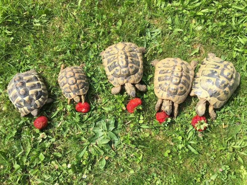 Saison des fraises Img_7413