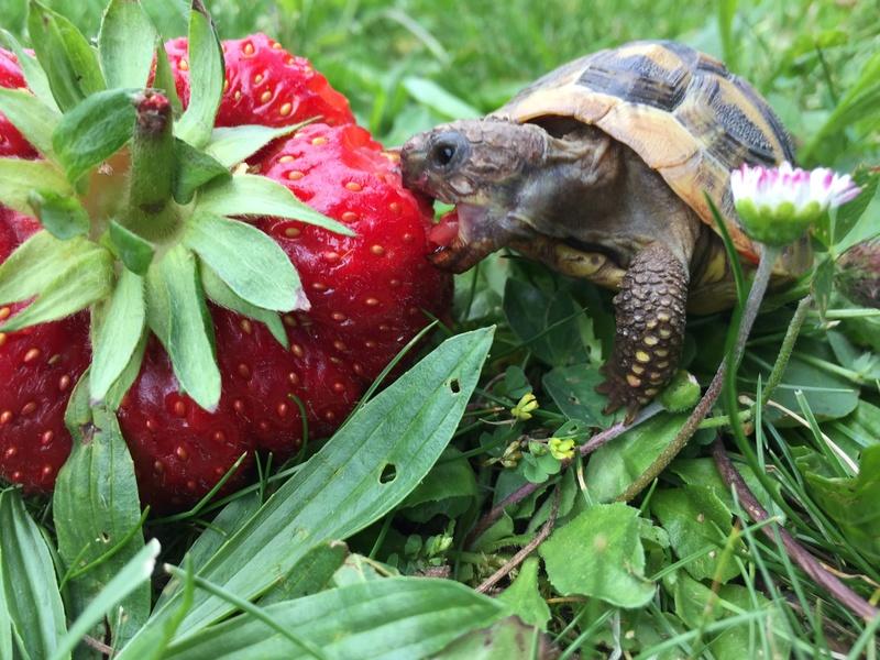 Saison des fraises Img_7510