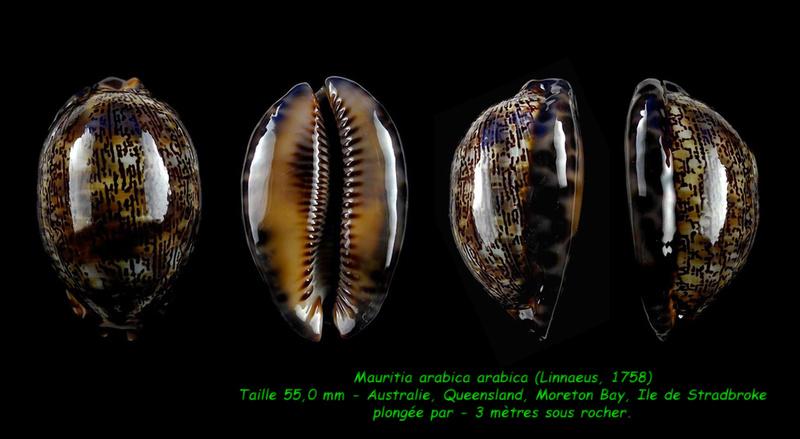Mauritia arabica arabica - (Linnaeus, 1758)  Arabic13