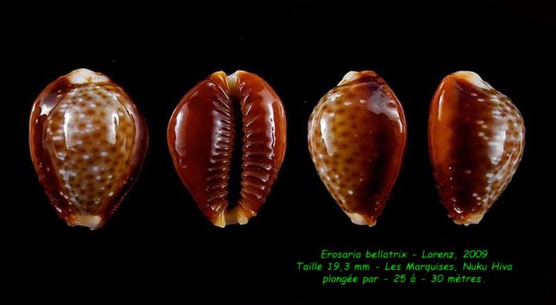 Naria helvola bellatrix - (Lorenz, 2009) - Page 2 Bellat10