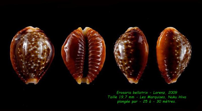 Naria helvola bellatrix - (Lorenz, 2009) - Page 2 Bellat11