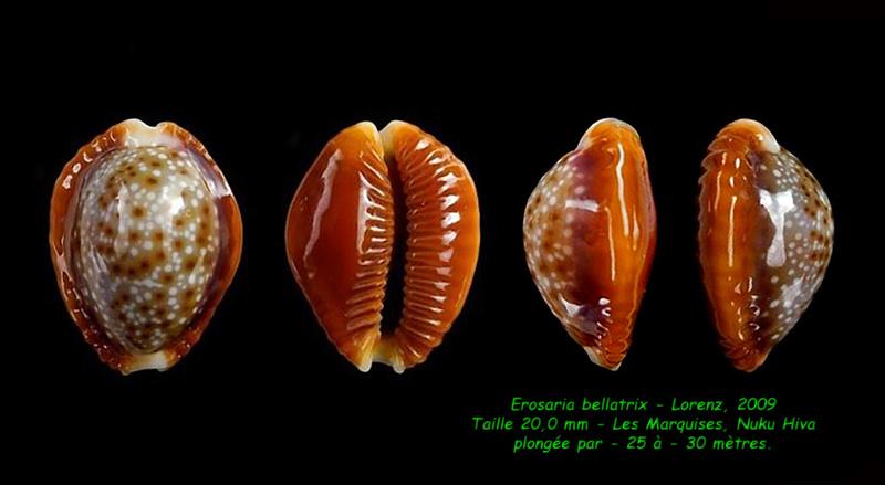 Naria helvola bellatrix - (Lorenz, 2009) - Page 2 Bellat14