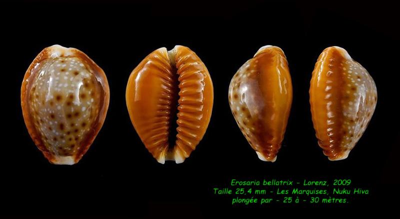Naria helvola bellatrix - (Lorenz, 2009) - Page 2 Bellat15
