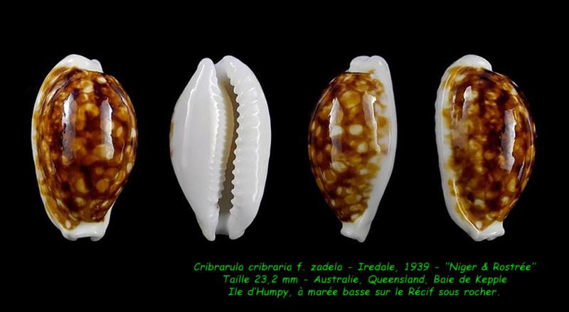 Cribrarula cribraria zadela - (Iredale, 1939)  - taxon inquirendum  Cribra11