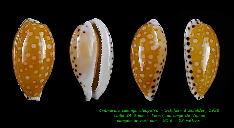 Cribrarula cumingii - (Gray, 1832) & Cribrarula cumingii cleopatra - Sowerby 1832 - Page 2 Cuming13