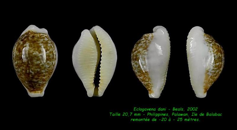 Eclogavena dani - (Beals, 2002) Dani_210