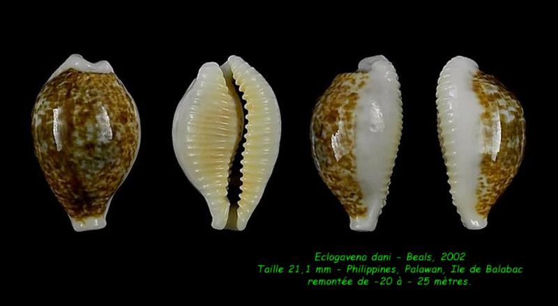 Eclogavena dani - (Beals, 2002) Dani_211