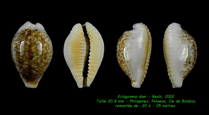 Eclogavena dani - (Beals, 2002) Dani_212