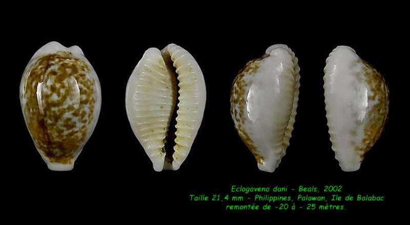 Eclogavena dani - (Beals, 2002) Dani_213