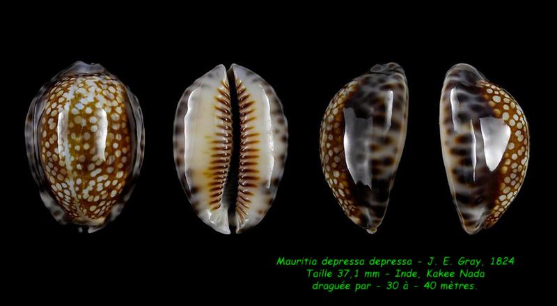 Mauritia depressa depressa - J.E. Gray, 1824 - Page 2 Depres11