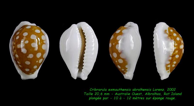 Cribrarula exmouthensis abrolhensis - Lorenz, 2002 Exmout10