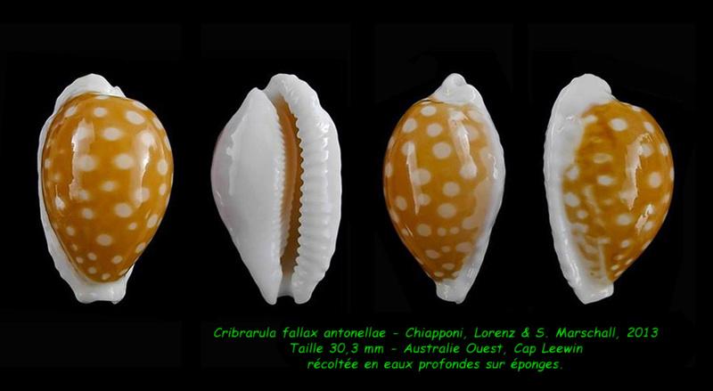 Cribrarula fallax antonellae - Chiapponi, Lorenz & S. Marshall, 2013  Fallax10