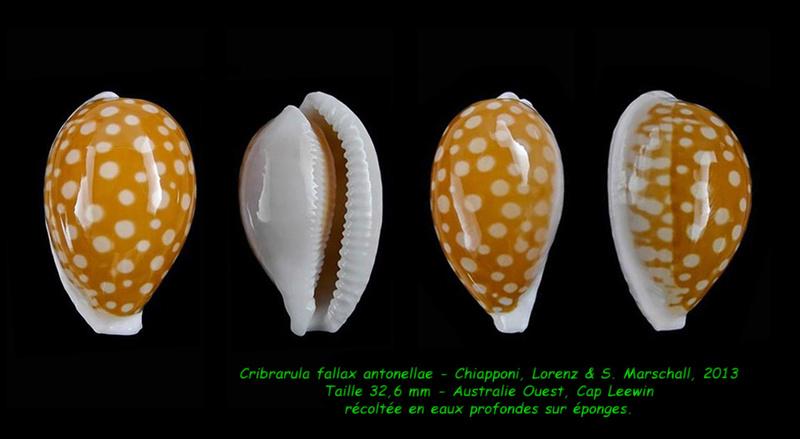 Cribrarula fallax antonellae - Chiapponi, Lorenz & S. Marshall, 2013  Fallax12
