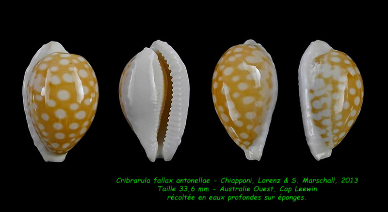 Cribrarula fallax antonellae - Chiapponi, Lorenz & S. Marshall, 2013  Fallax13
