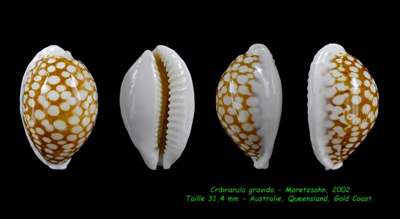 Cribrarula gravida - Moretzsohn, 2002 Gravid10