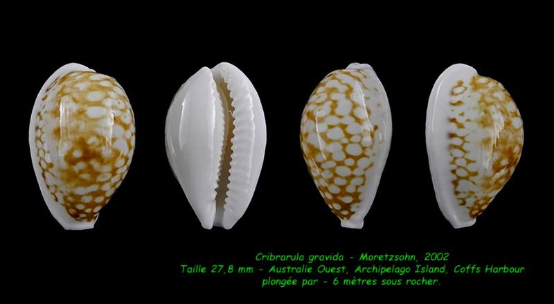 Cribrarula gravida - Moretzsohn, 2002 Gravid11