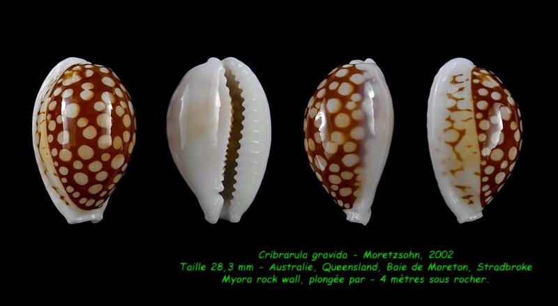 Cribrarula gravida - Moretzsohn, 2002 Gravid12