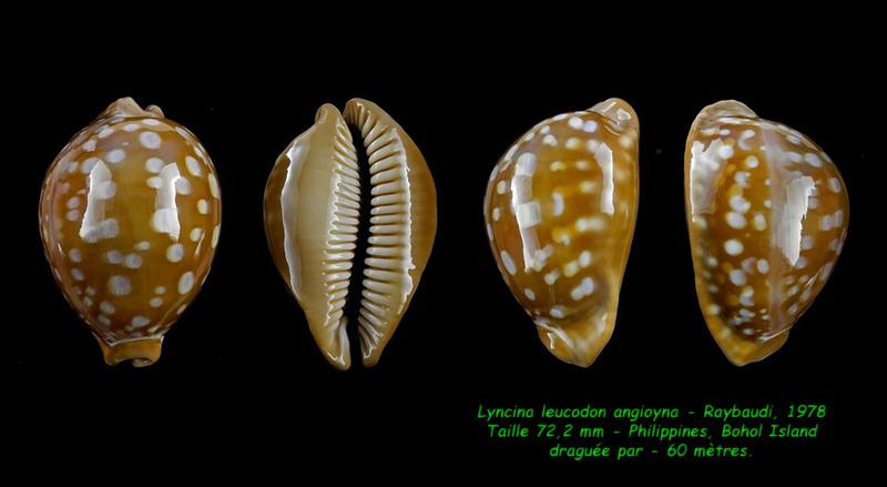Callistocypraea leucodon angioyna- Raybaudi, 1978 Leucod10