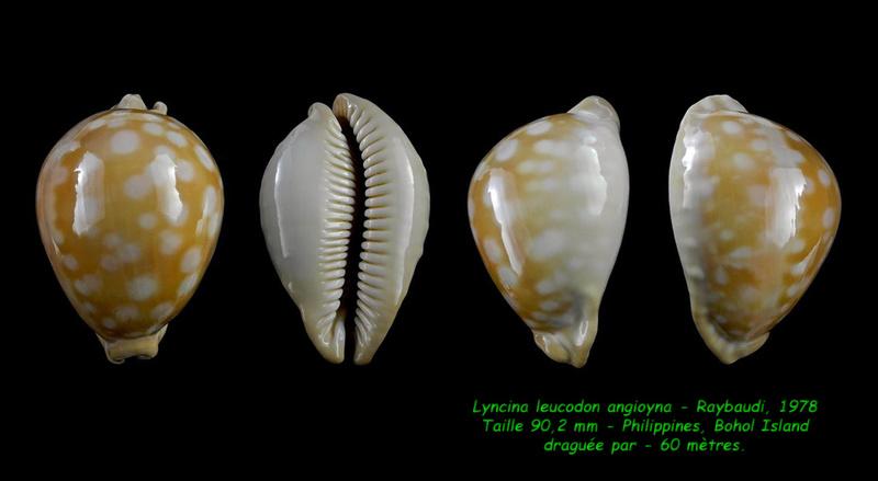 Callistocypraea leucodon angioyna- Raybaudi, 1978 Leucod11