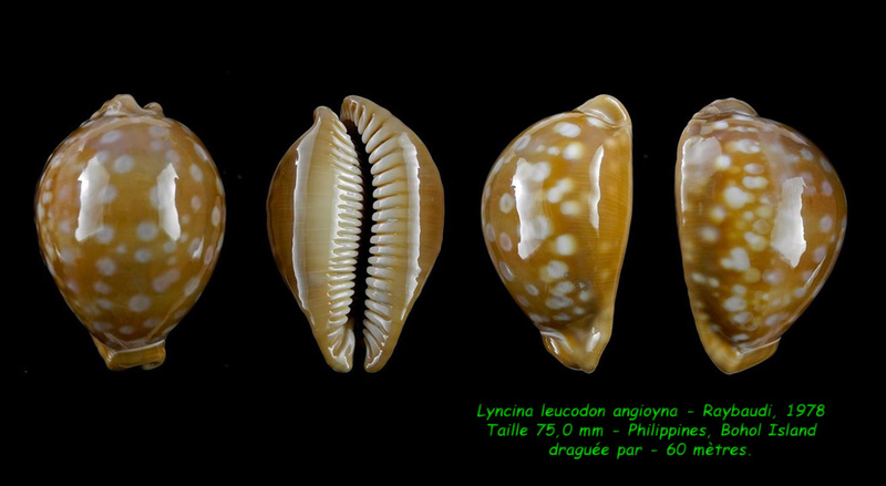 Callistocypraea leucodon angioyna- Raybaudi, 1978 Leucod12
