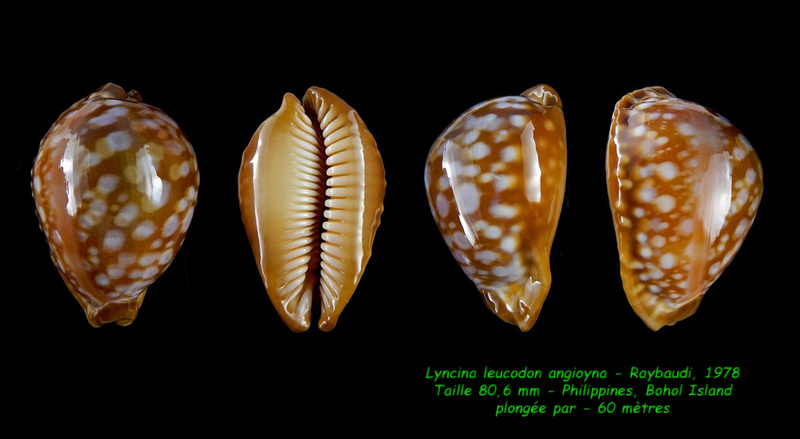 Callistocypraea leucodon angioyna- Raybaudi, 1978 Leucod13