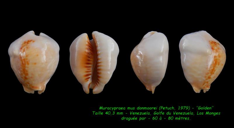Muracypraea mus donmoorei - Petuch, 1979  Mus_do10