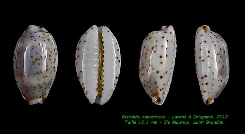 Bistolida nanostraca - Lorenz & Chiapponi, 2012 Nanost10