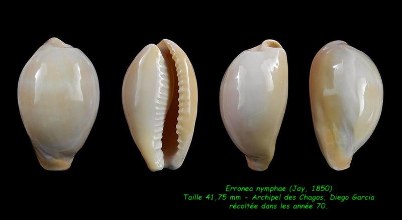 Erronea nymphae - (Jay, 1850) Nympha11