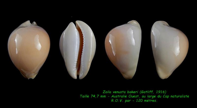 Zoila venusta bakeri- (Gatliff, 1916) Venust12