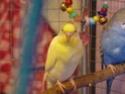 Nouvelle perruche, sexe (mâle?) P1030711