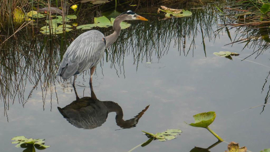Heron bleu de Floride Anigha17