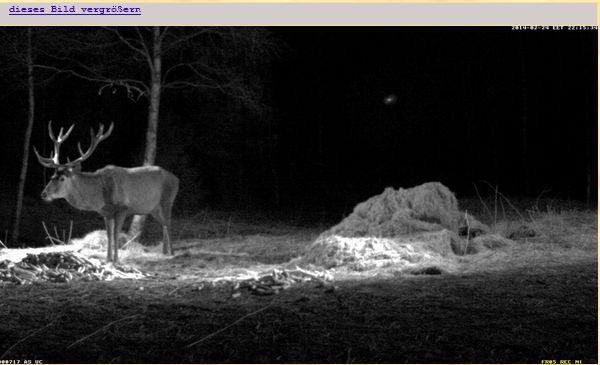 Wildtier-Livecams - Seite 4 Hirsch11