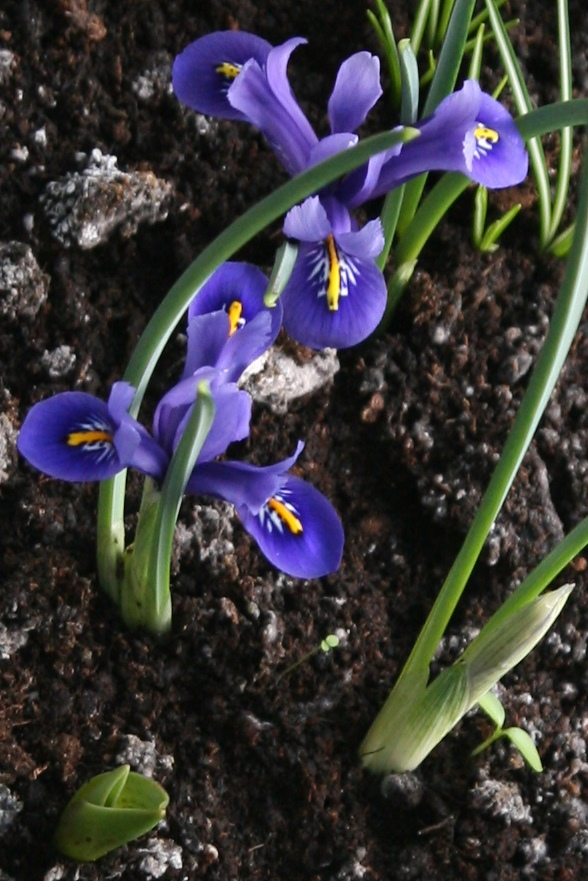 Schwertliliengewächse: Iris, Tigrida, Ixia, Sparaxis, Crocus, Freesia, Montbretie u.v.m. Iris10