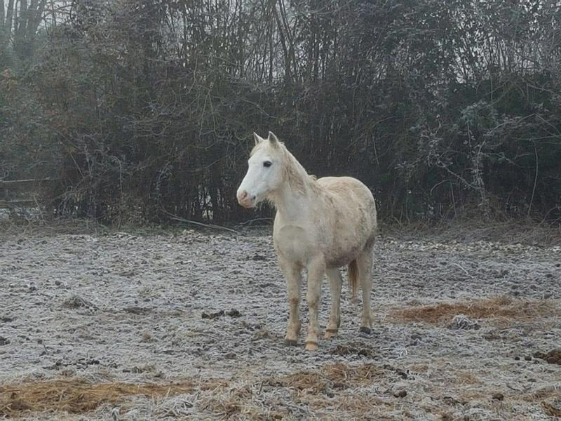 GRIBOUILLE - ONC poney né en 1994 - adopté en août 2009 par caro41 311