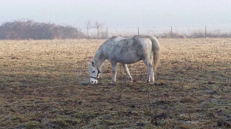 GRIBOUILLE - ONC poney né en 1994 - adopté en août 2009 par caro41 611