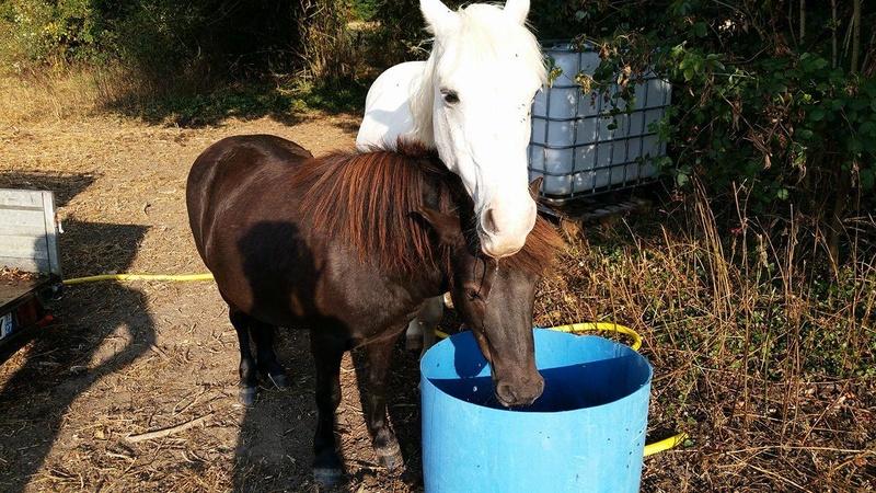 GRIBOUILLE - ONC poney né en 1994 - adopté en août 2009 par caro41 811