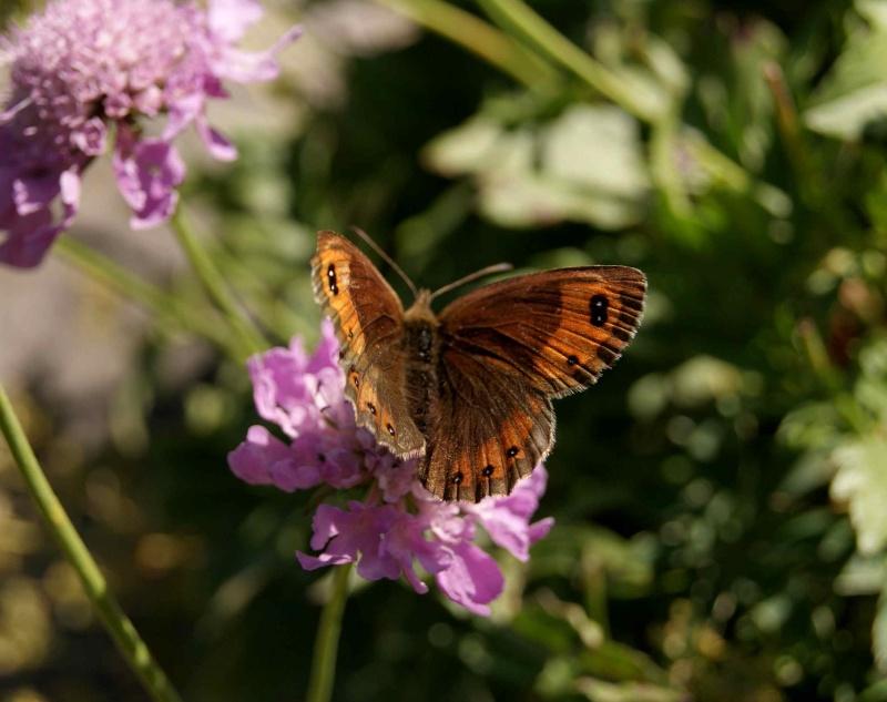 Identifications chenilles et papillons [Cucullia lucifuga] Forum_12