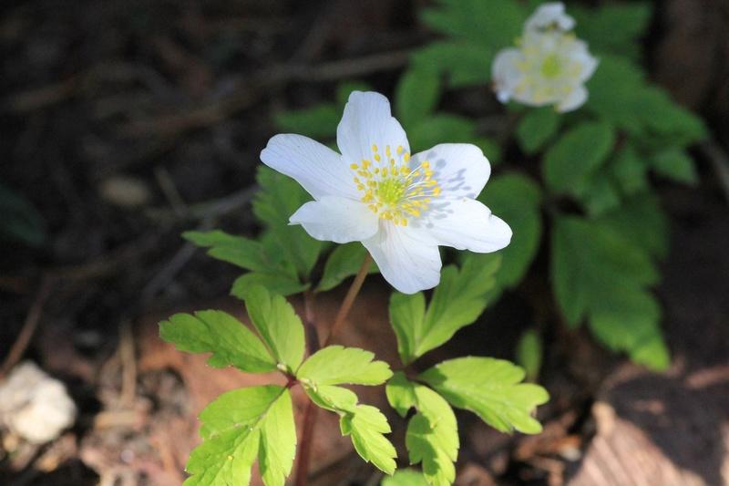 Quelques euphorbes et autres petites fleurs de printemps Img_7822