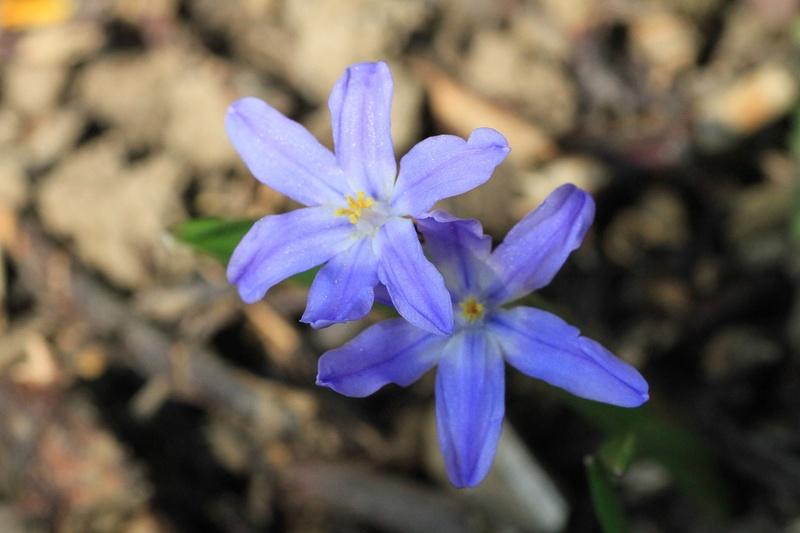 Quelques euphorbes et autres petites fleurs de printemps Img_7823