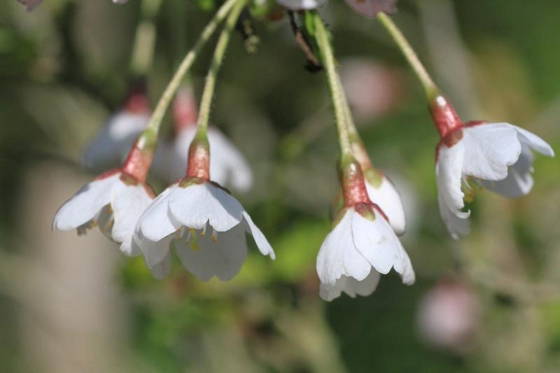 Quelques euphorbes et autres petites fleurs de printemps Img_7825