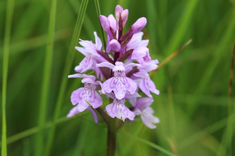 Flore des Vosges Img_3513