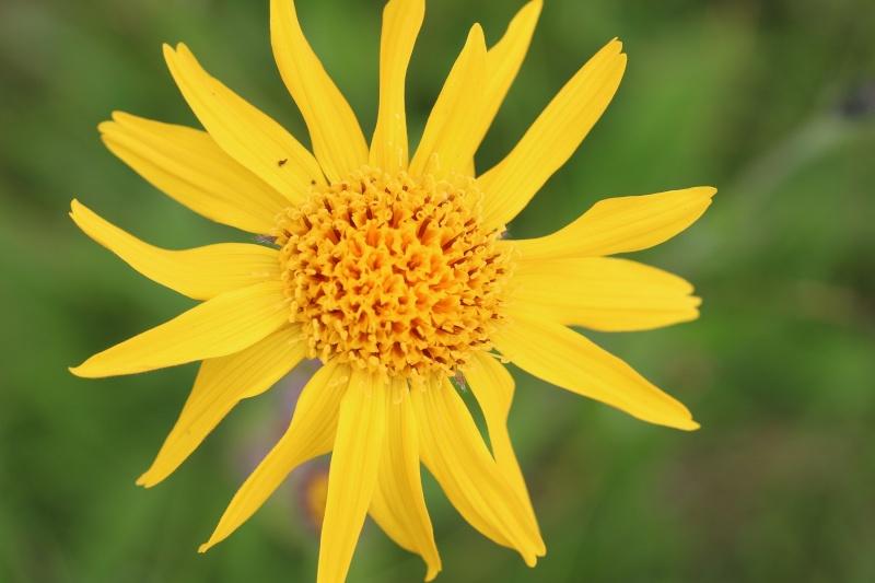 Flore des Vosges Img_3514