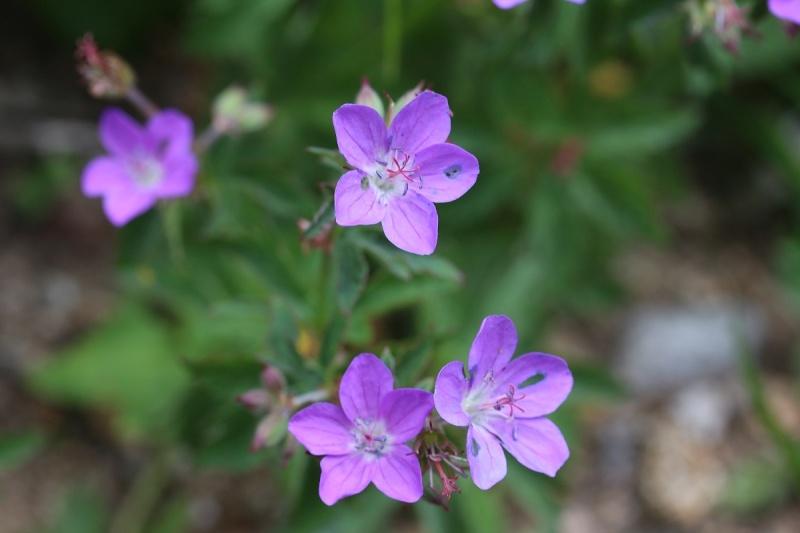 Flore des Vosges Img_3613